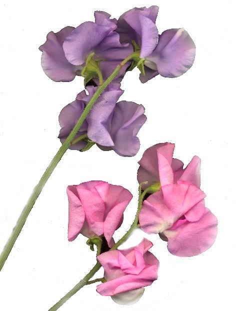 sweetpea 4 copy