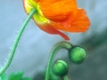orange poppy copy